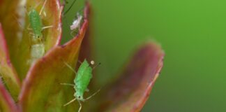 how to get rid of aphids on roses naturally and Permanently
