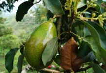 How to grow an avocado tree that bears fruit from seed