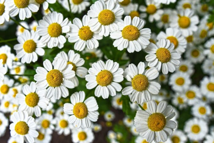 How to harvest chamomile seeds for tea: 7 Easy Steps