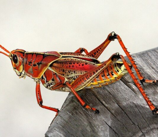 How to get rid of grasshoppers eating plants in the garden