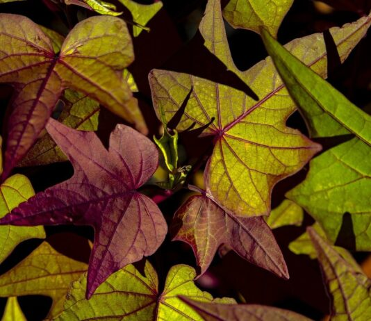 How to grow a sweet potato vine indoors and outdoors: 5 Easy Steps