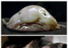 Is it possible to eat a blobfish?