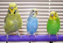 Is it possible for parakeets to consume celery?