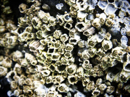 Is it possible to eat a barnacle?