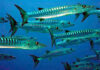 Is it possible to eat a barracuda?