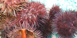 Is it safe to consume all sea urchins?