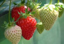 Is it true that strawberries are harmful for you?