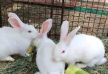 Is it safe for rabbits to eat iceberg lettuce?