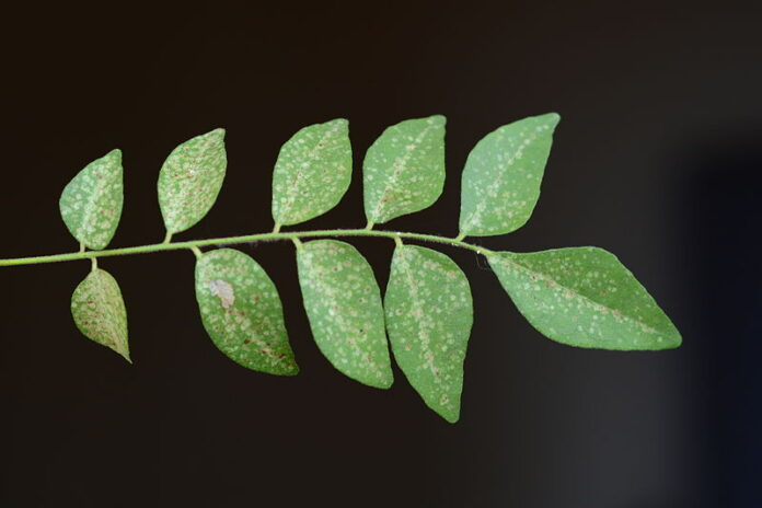 Is it possible to consume curry leaves?
