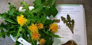 Is it safe to consume dandelion root?